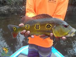 Peacock Bass Fishing - Jan 15, 2016