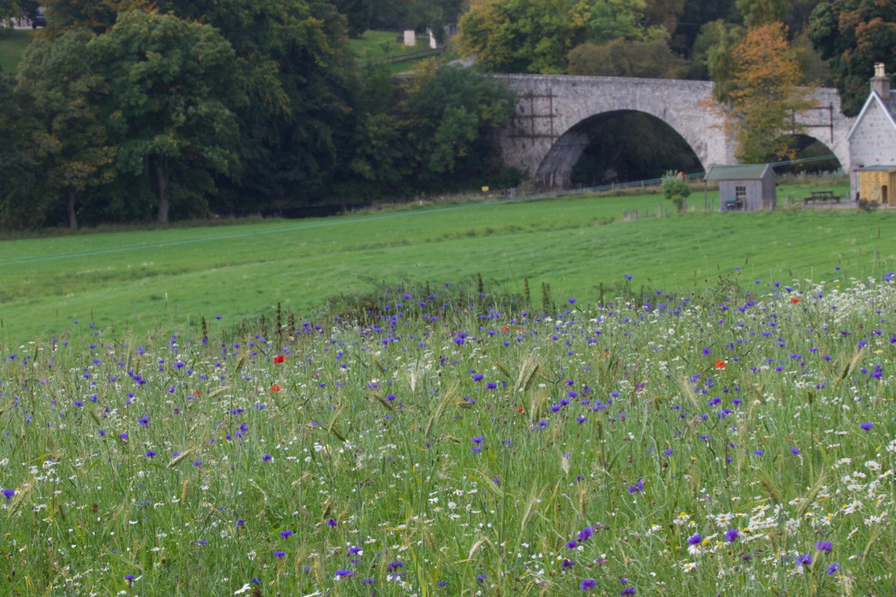 Corn annuals at Old Spey Bridge, Grantown on Spey