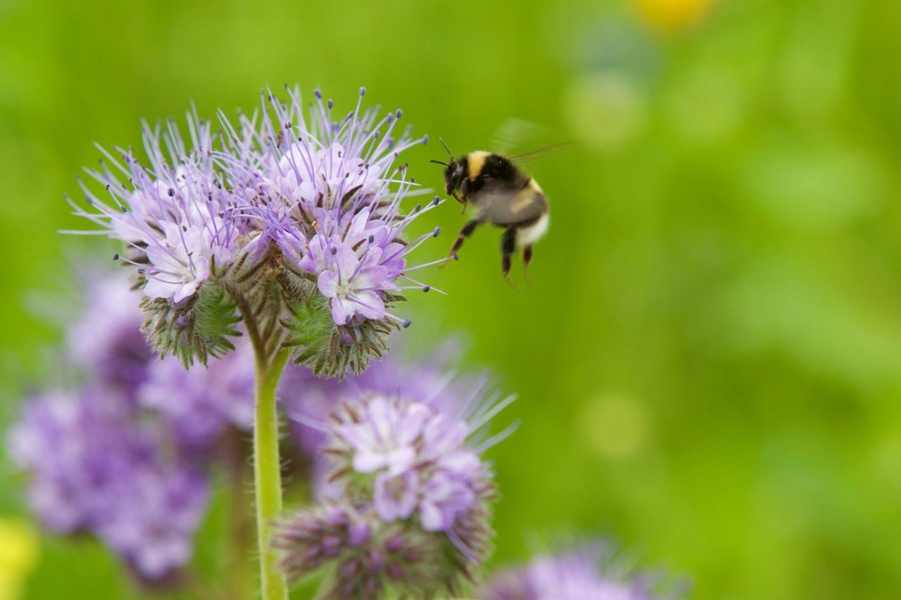Bumble Bee on phacelia