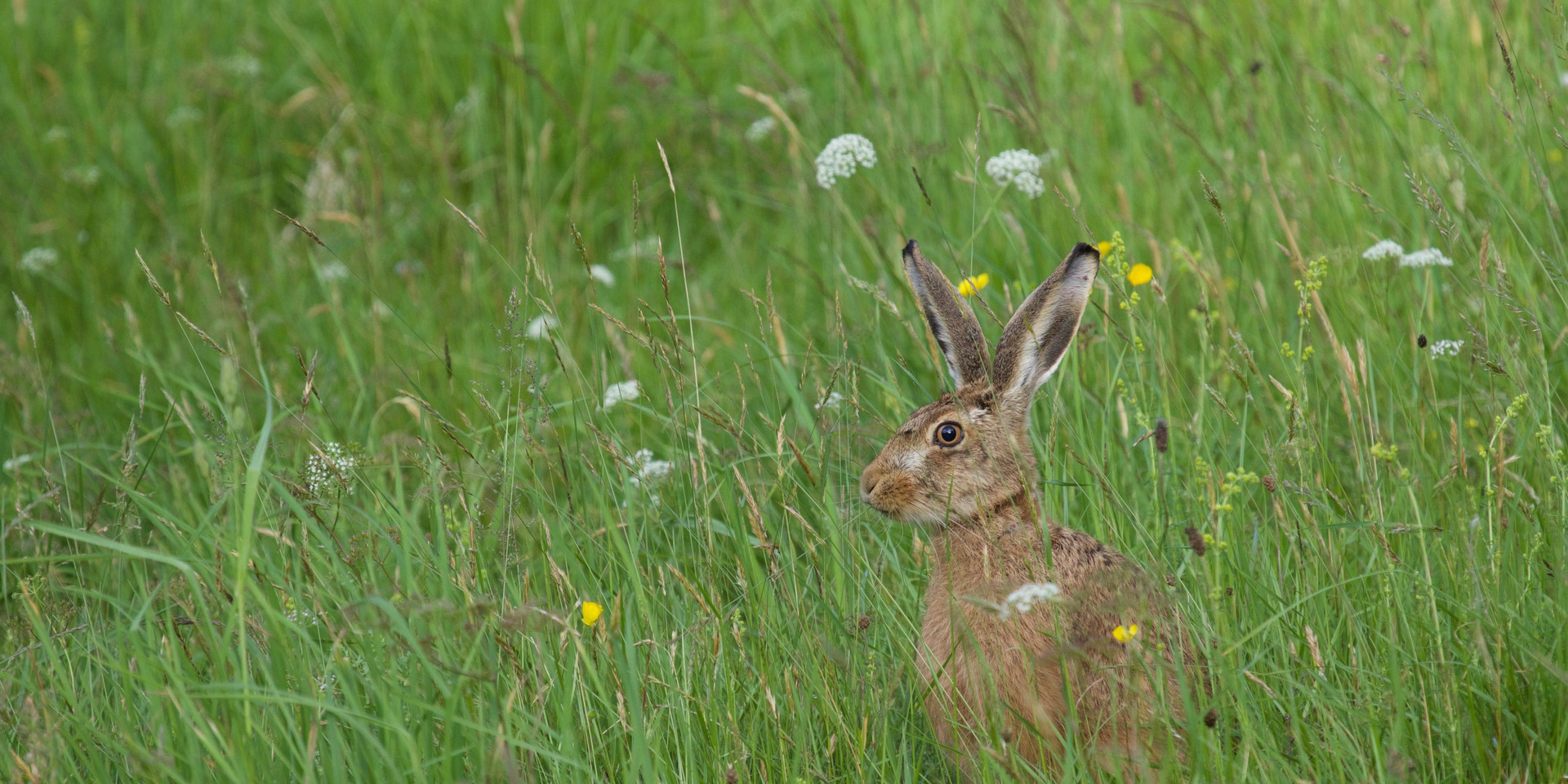 Brown hare in perennial meadow