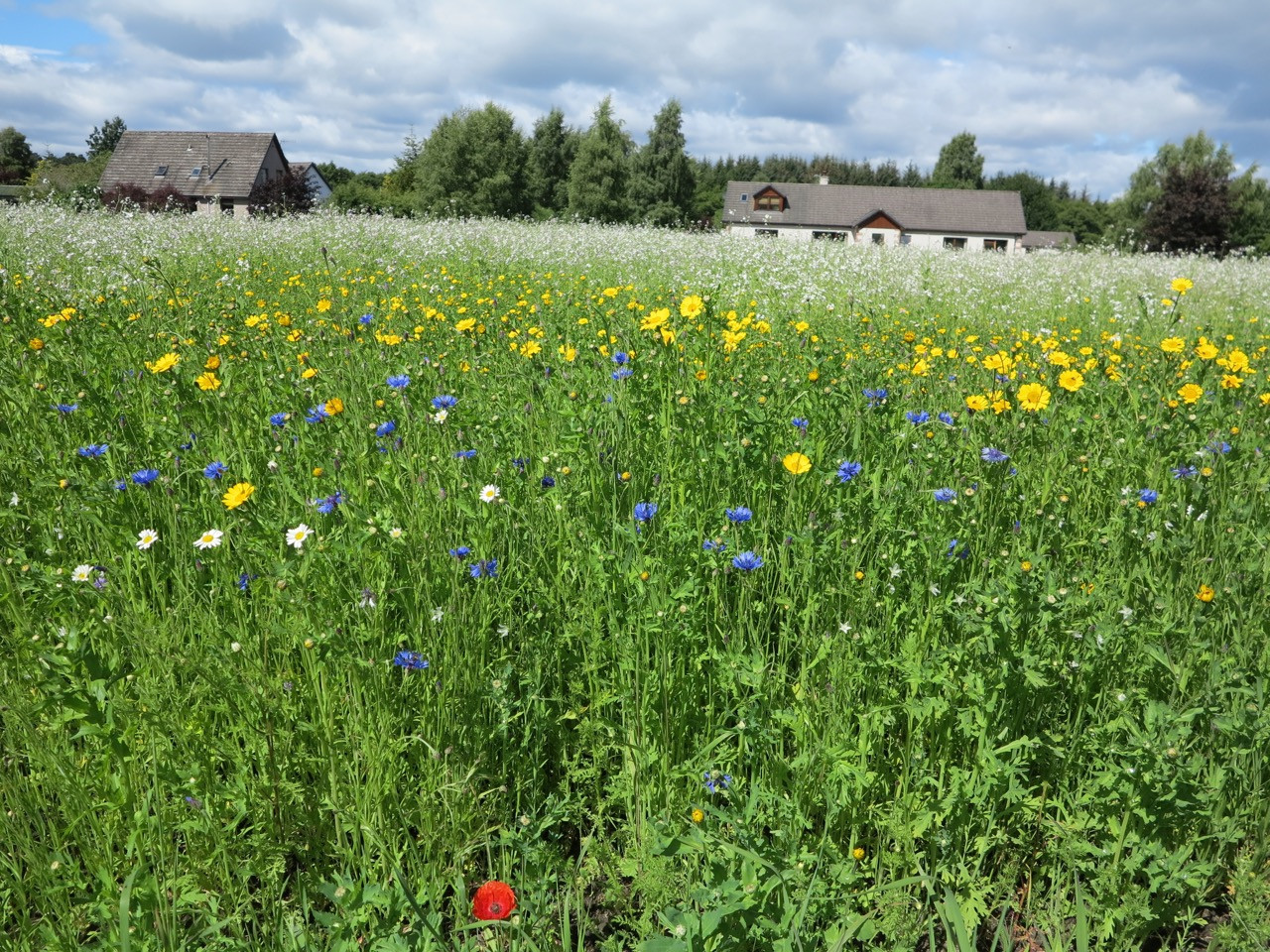 SFW field at Mousa today. Annuals and bird crop