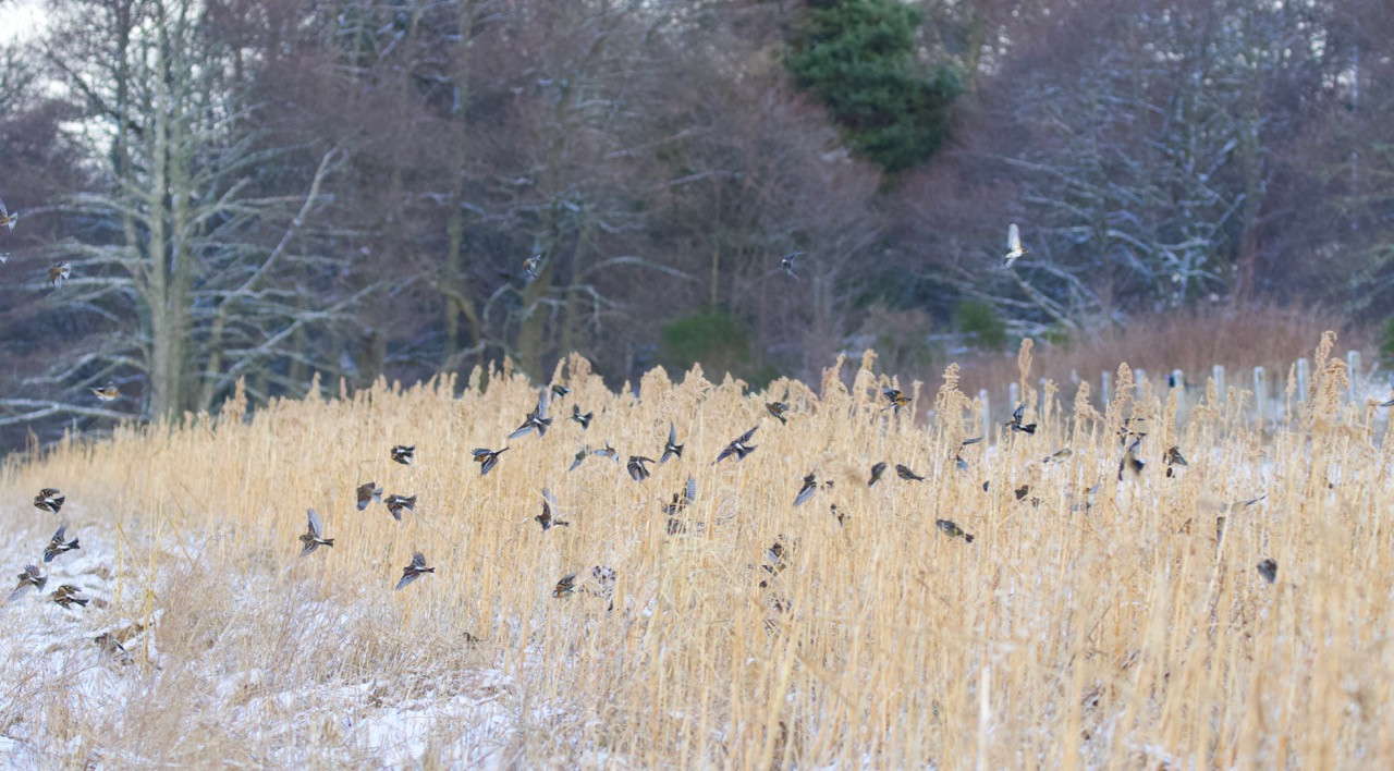 Bramblings & Chaffinches on quinoa