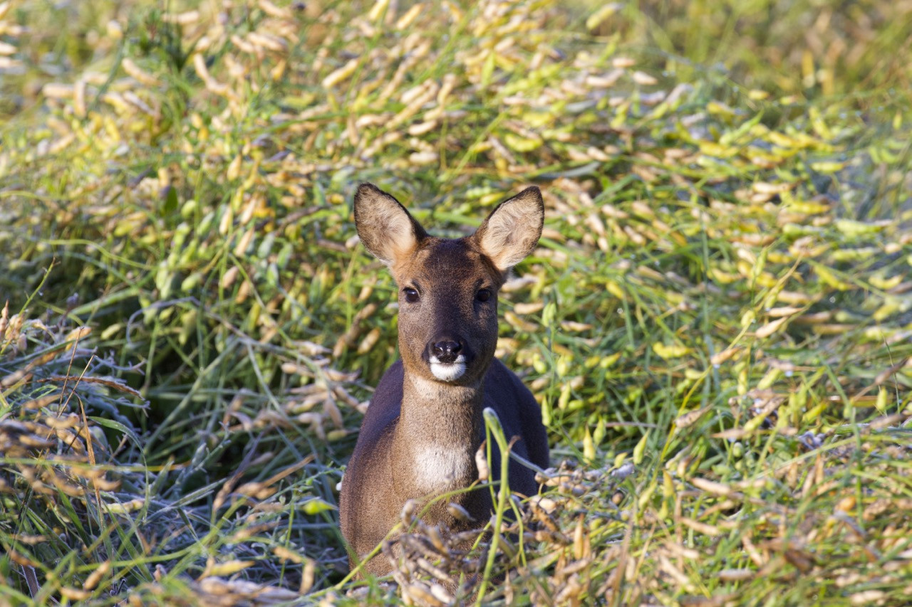 Roe Deer in fodder radish