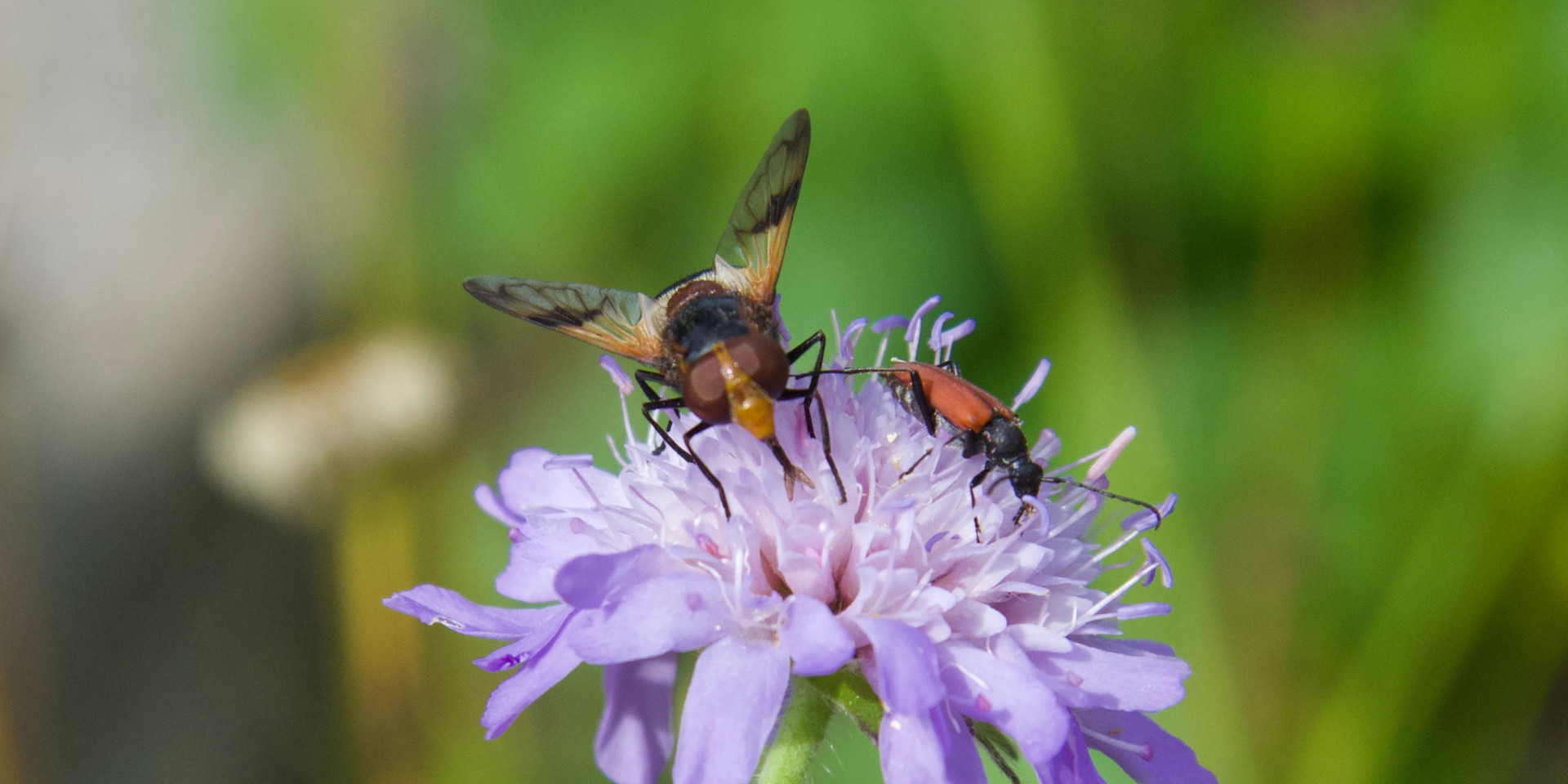 Insects on scabious