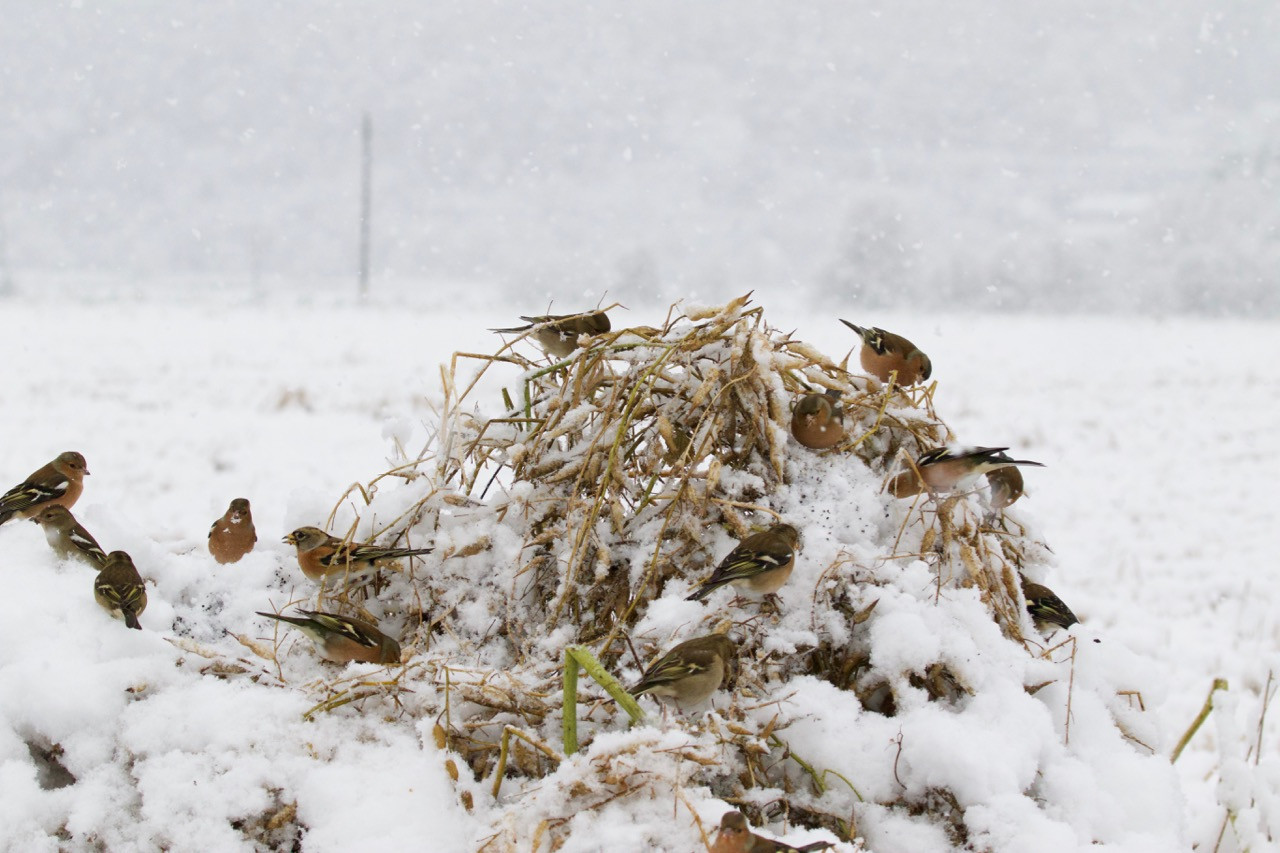 Chaffinches and bramblings on radish in winter