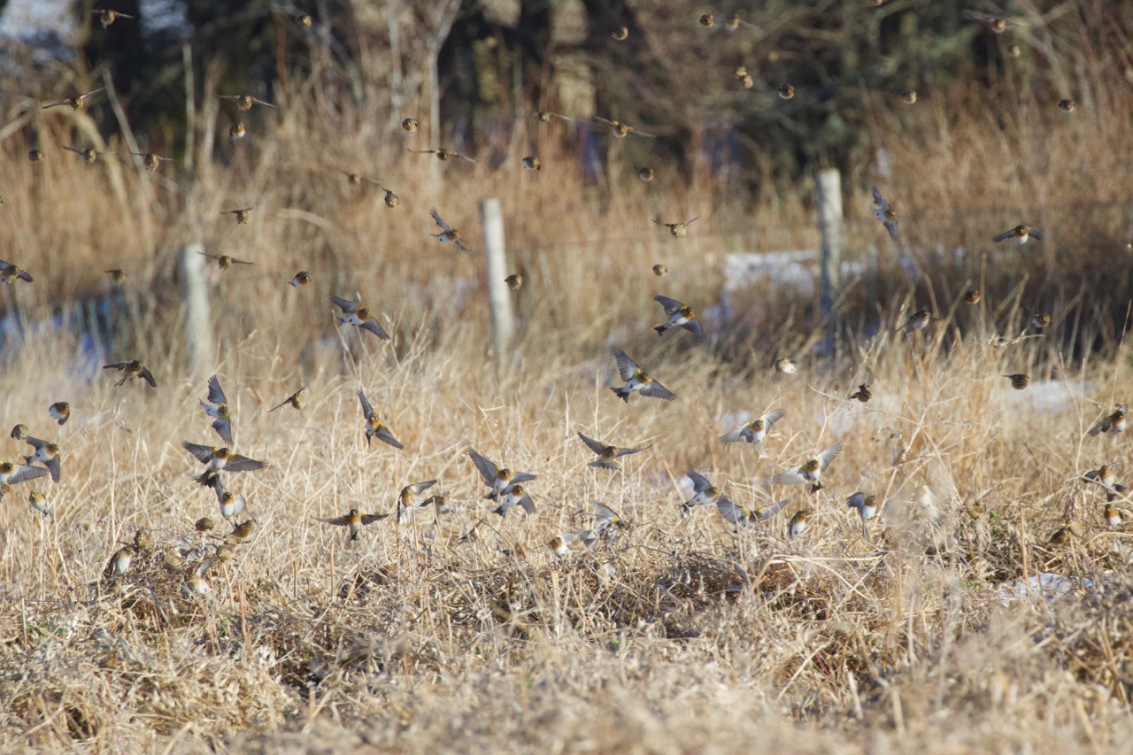 Bramblings, linnets and chaffinches on radish