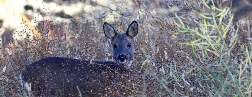 Roe deer in linseed and radish