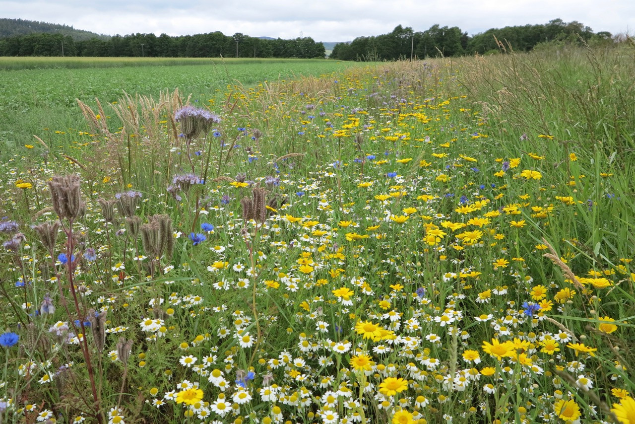 Corn annuals and phacelia