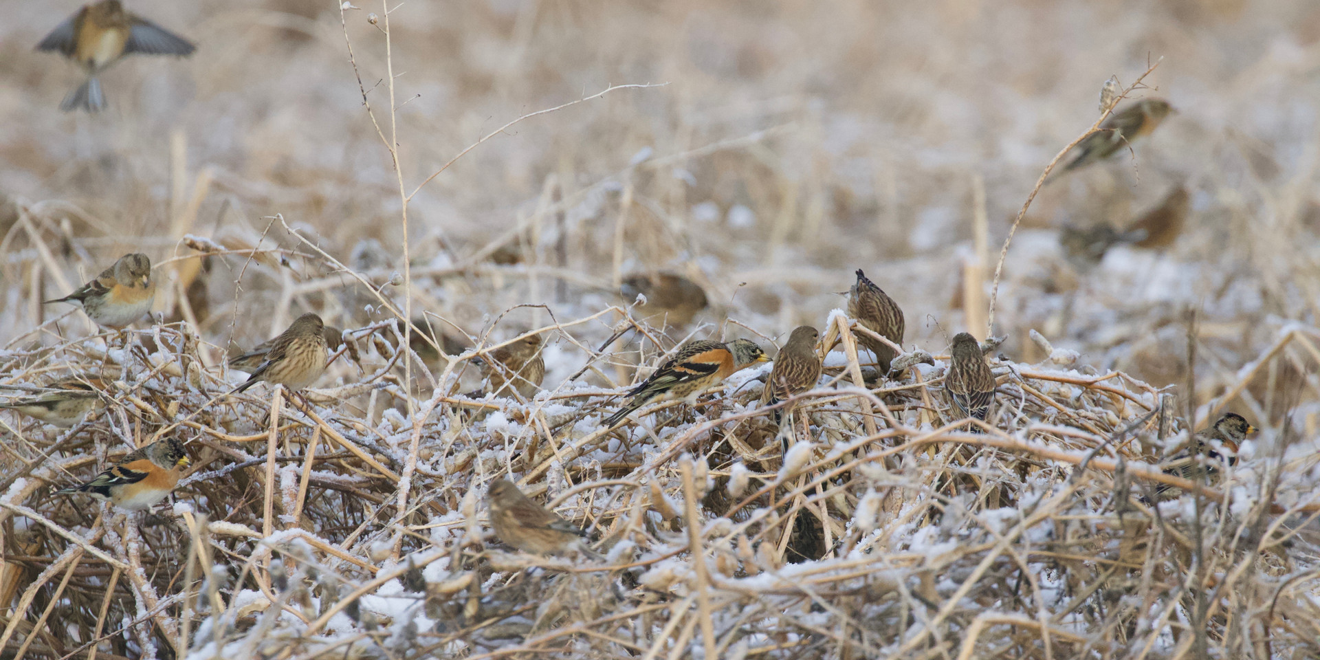 Bramblings and linnets on radish