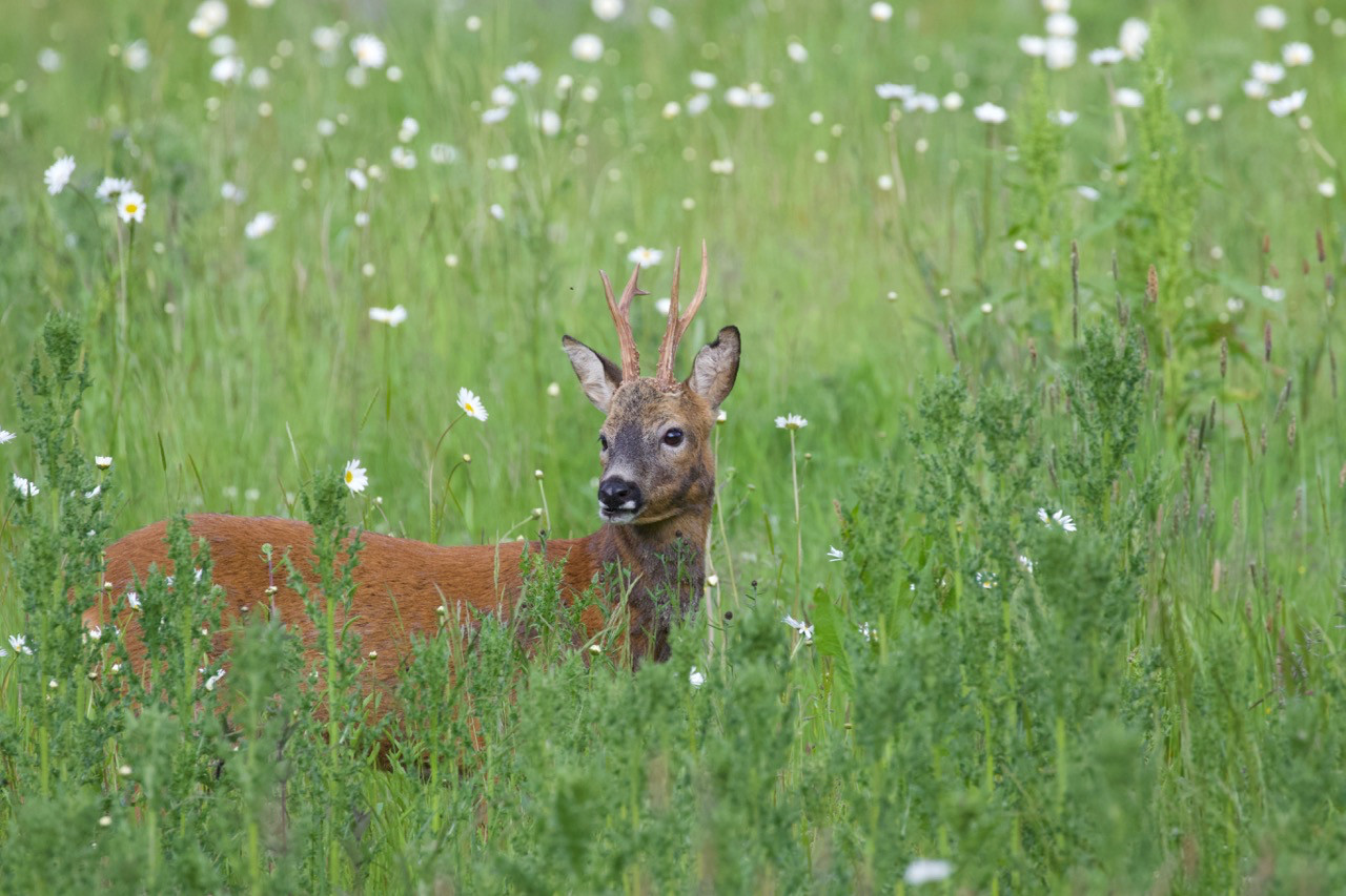 Roe buck  in perennial meadow