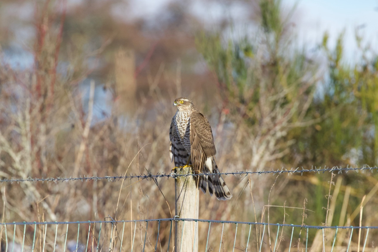 Sparrow Hawk hunting finches