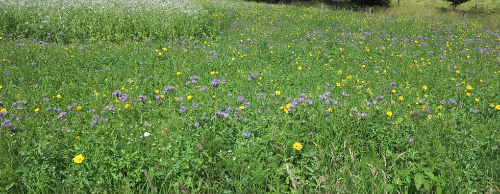 Balliemore today. Annuals, phacelia and bird crop behind