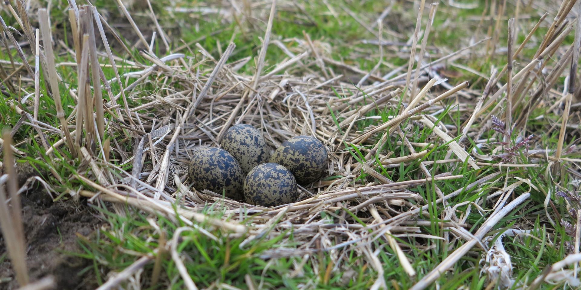 Peeweep nest