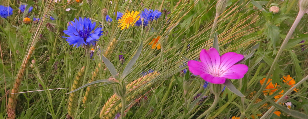 Corn annuals with barley