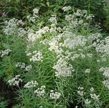 Pearly Everlasting in bloom TVL garden Martha Jarrell BB.JPG