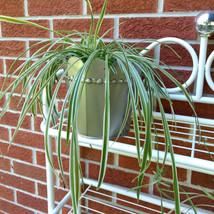 spiderplant1.jpeg