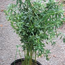 Euphorbia Lime green  yellowish blooms TVL garden Martha Jarrell BB.JPG