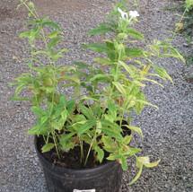 White Phlox large pot # 3 TVL garden Martha Jarrell BB.JPG