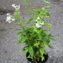 White Phlox smaller pot # 4 TVL garden Martha Jarrell BB.JPG