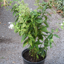 White Phlox large pot # 1 TVL garden Martha Jarrell BB.JPG