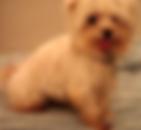 Beople senior maltese dog