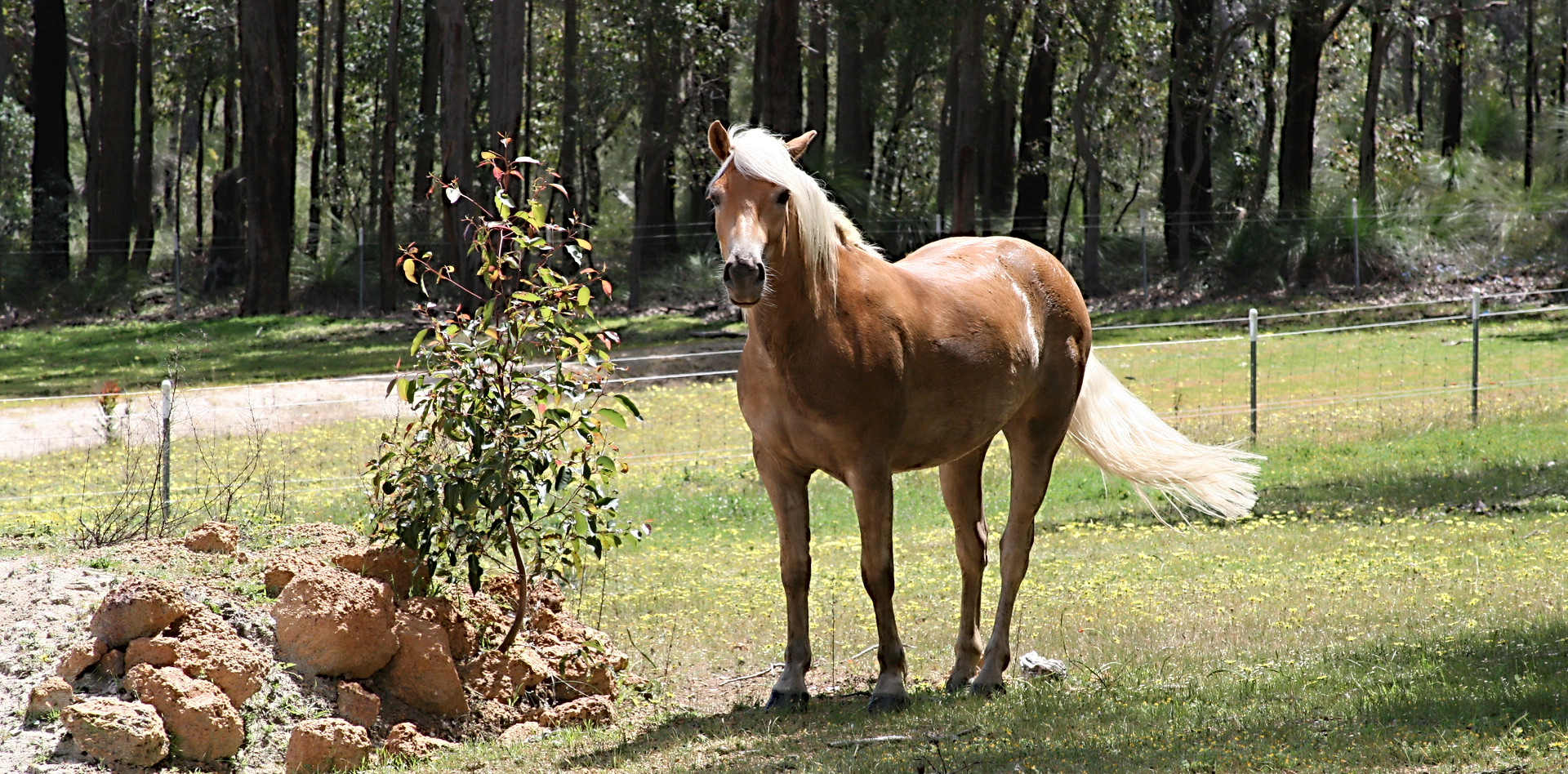 Stoltzie - One of our Haflinger Horses