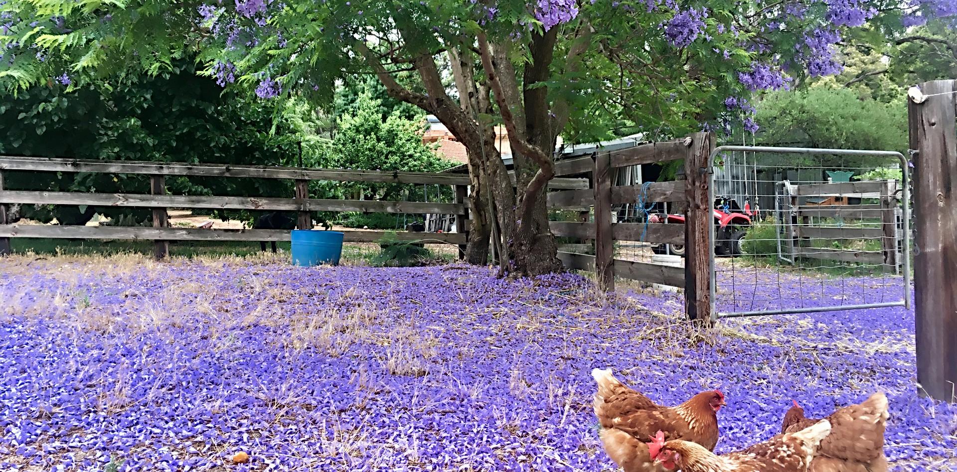 Free range hens under the Jacaranda tree!