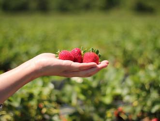 Sezon truskawkowy czeka na otwarcie