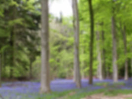 Woods full of bluebells
