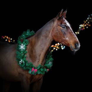 Bay horse with christmas wreath isolated