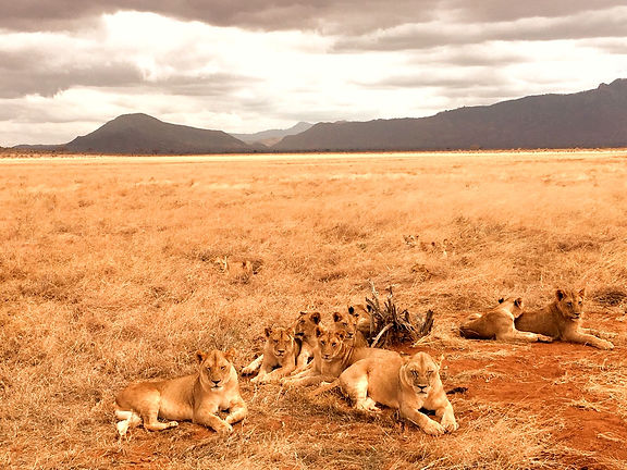 Kenya safari Tsavo Est savana leoni
