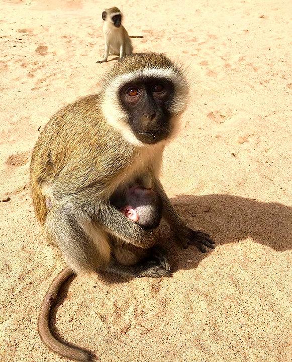 Kenya Instagram Pics scimmie