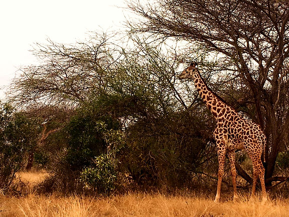 Kenya safari Tsavo Est savana giraffa