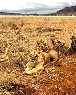 Kenya Safari leoni savana