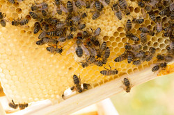 No. 40 Bees on comb