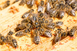 No. 45 Cluster of bees