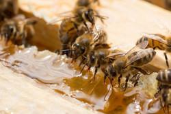 No. 36 Bees & Honey