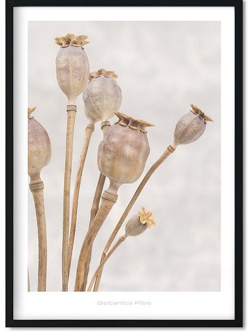 Botanik plakat med valmue frøstande - Botanica Flos 5