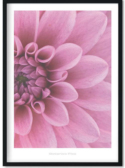 Botanik plakat med lyserød geogina - Botanica Flos 9
