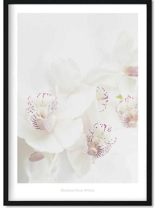 Botanik plakat med hvide orkideer  - Botanica Flos 2
