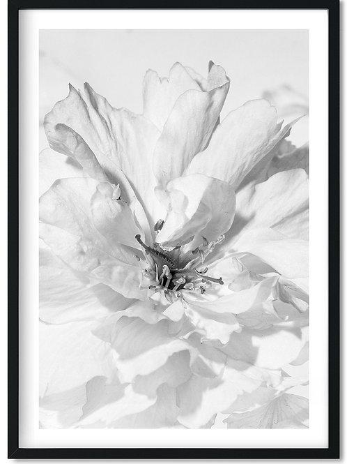 Fotoplakat med sort hvid kirsebærblomst i sort ramme