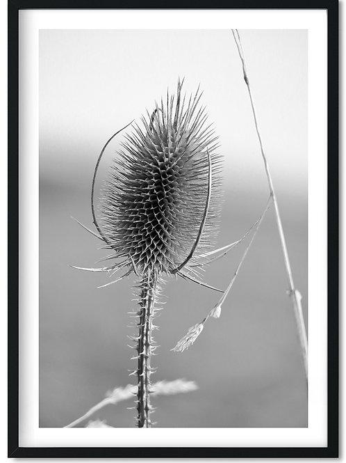 Sort hvid fotoplakat af tidsel