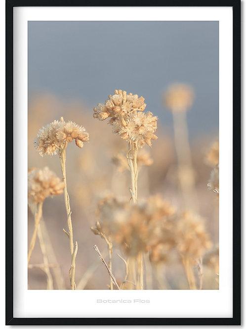 Botanik plakat med visne frøstande - Botanica Flos 6
