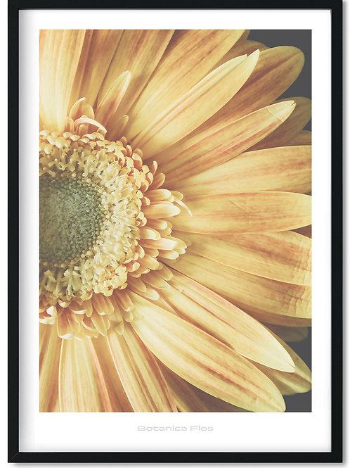 Botanik plakat med gul morgenfrue - Botanica Flos 12