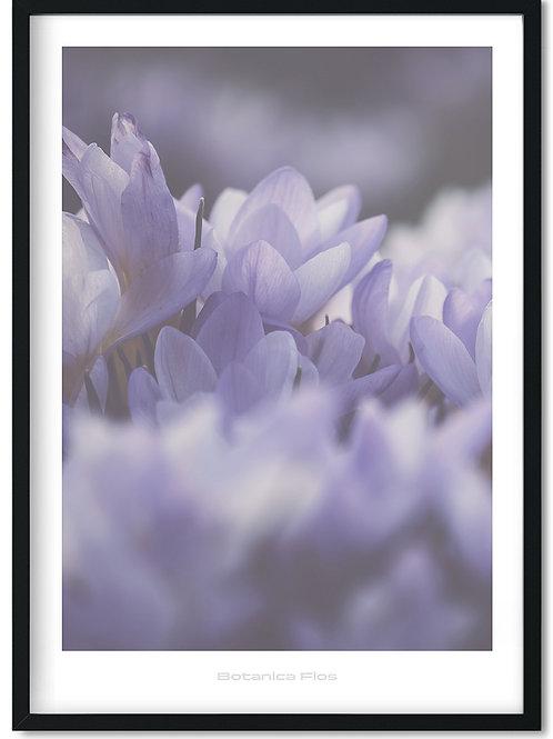 Botanik plakat med lilla krokus - Botanica Flos 8