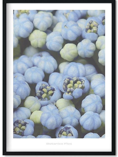 Botanik plakat med blå hortensia - Botanica Flos 11