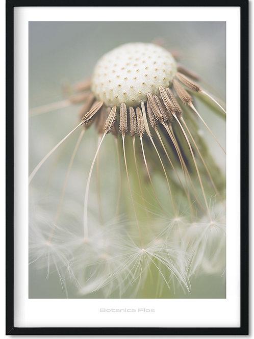 Botanik plakat med mælkebøtte - Botanica Flos 7
