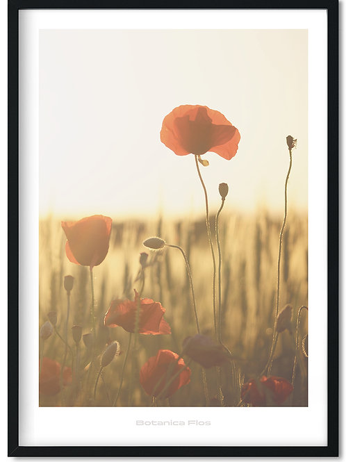 Botanik plakat med rød valmue på mark - Botanica Flos 10