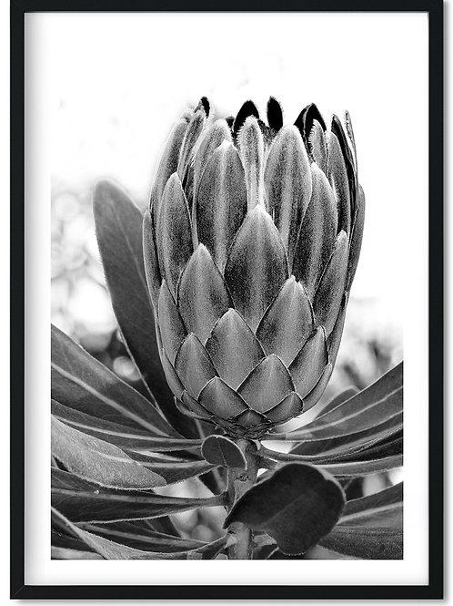 Fotoplakat af åkande i sort og hvid