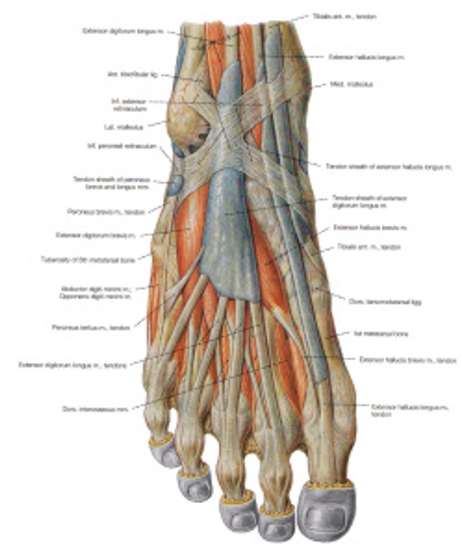 Muscles_pied_dos1_PS copie_en